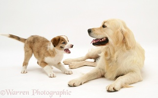 Golden Retriever and Border Collie pup