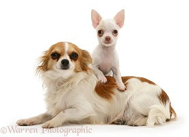 Chihuahua mother and puppy