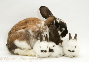 Mother rabbit and three babies