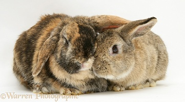Sandy and tortoiseshell Lop rabbits