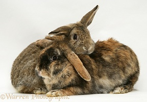 Agouti and tortoiseshell Lop rabbits