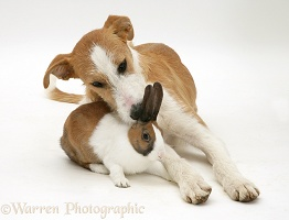 Lurcher with fawn Dutch rabbit