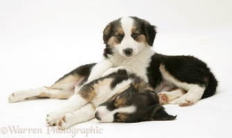 Sleepy Tricolour Border Collie pups