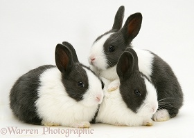Three Baby Black Dutch rabbits
