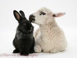 Lamb and black rabbit