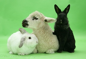 Lamb, white rabbit and black rabbit on green background