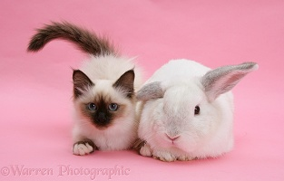Birman kitten and white rabbit on pink background