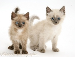 Brown and blue-point Birman-cross kittens