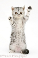 Silver tabby kitten reaching with paws up