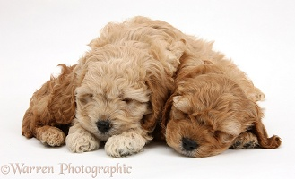 Sleepy golden Cockapoo pups