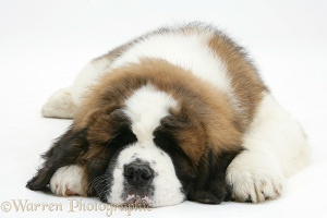 Saint Bernard puppy asleep