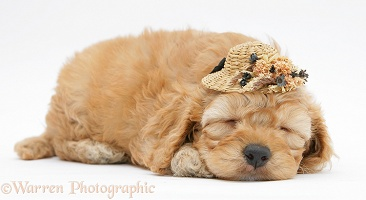 Golden Cockapoo pup, 6 weeks old, asleep