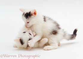 Two black-and-white kittens, 7 weeks old, playing