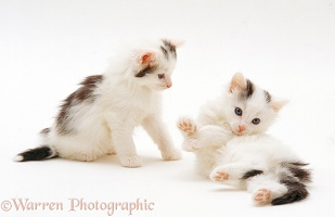 Two black-and-white kittens, 7 weeks old