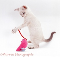 Pale colourpoint kitten playing with a toy mouse