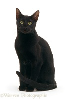 Black Oriental cat sitting