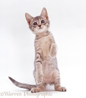 Silver tabby kitten standing up