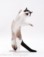 Ragdoll cat standing and reaching up
