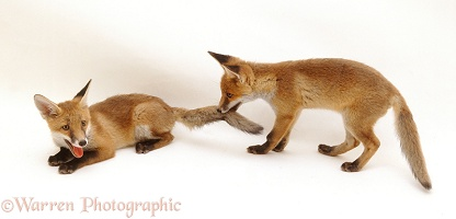 Playful Red Fox cubs, 13 weeks old