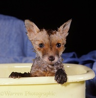 Fox cub bathing in a bowl