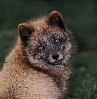 Arctic Fox in summer coat