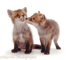 Cute little Red Fox cubs