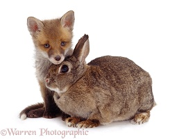 Red Fox cub and adult European Rabbit