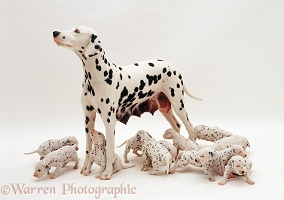 Dalmatian bitch and pups