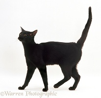 Black Oriental cat walking
