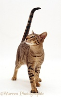 Oriental brown spotted tabby cat