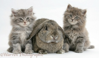 Maine Coon kittens, 7 weeks old, with agouti Lop rabbit