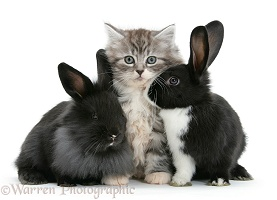 Maine Coon kitten, 8 weeks old, with rabbits