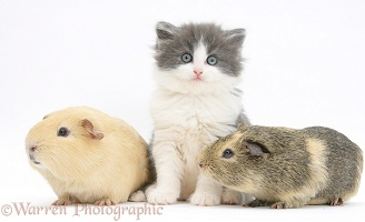 Grey-and-white kitten with Guinea pigs