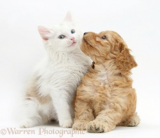 Birman x Ragdoll kitten with Cockapoo pup