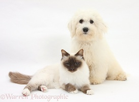 Bichon Frise dog and Birman cat