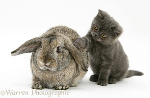 Grey kitten and agouti lop rabbit