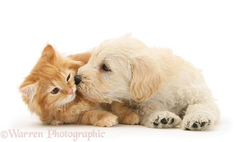 Woodle pup and ginger Maine Coon kitten