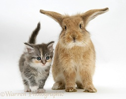 Tabby kitten with sandy Lionhead-cross