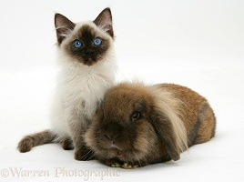 Ragdoll kitten, 12 weeks old, with Lionhead rabbit