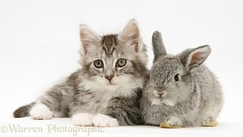 Baby silver Lop rabbit with silver tabby Maine Coon kitten