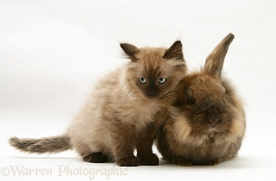 Chocolate Birman-cross kitten with chocolate rabbit