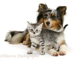 Silver tabby kitten and Sheltie