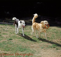 Dogs playing with a coit