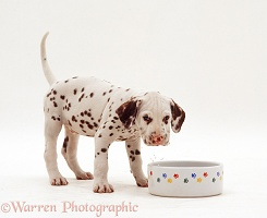 Dalmatian pup drinking from a bowl