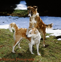 Border Collie courtship