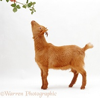 Young Pygmy x Golden Guernsey goat