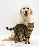 Smiley Golden Retriever and tabby cat