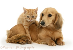 Ginger kitten with cream dapple Dachshund