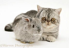 Baby rabbit with Exotic cat