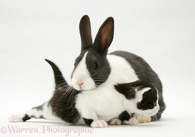 Black-and-white kitten with grey-and-white rabbit